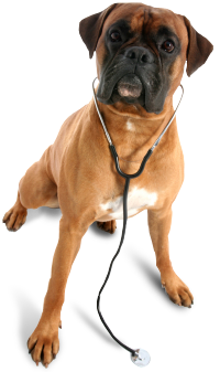 dog wearing a stethoscope